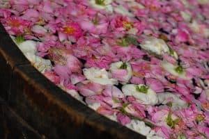 Rosenöl Herstellung in Bulgarien